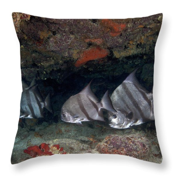 A School Of Atlantic Spadefish Throw Pillow by Terry Moore