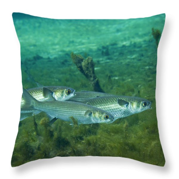A School Of Striped Mullet Wim Throw Pillow by Michael Wood