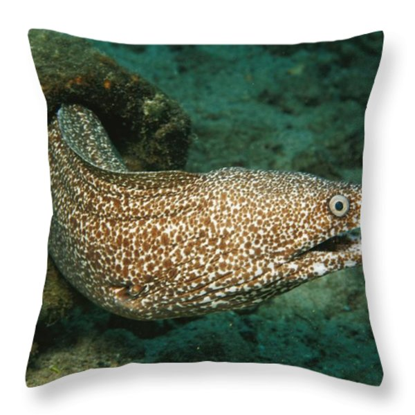 A Spotted Moray Eel Gymnothorax Moringa Throw Pillow by George Grall