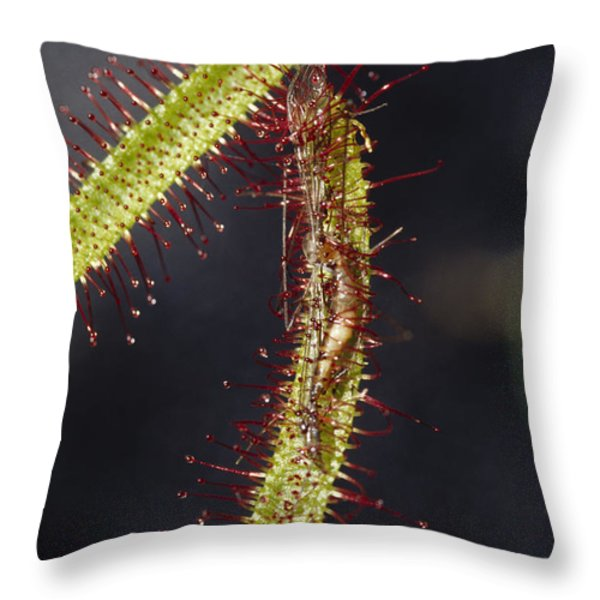 A Sundew Carnivourous Plant, Drosera Throw Pillow by Jason Edwards