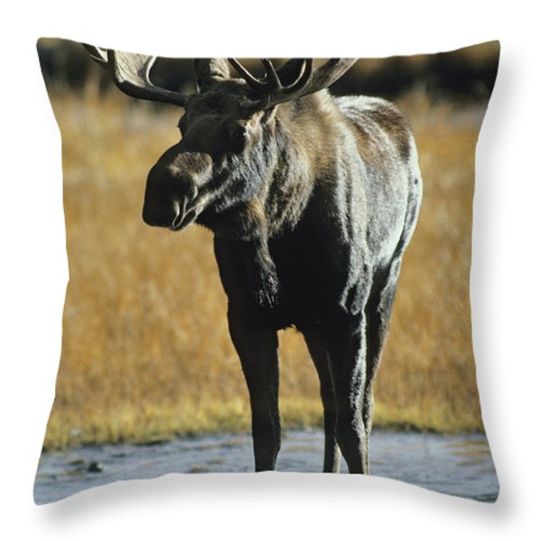 A Young Bull Moose Throw Pillow by George F. Herben