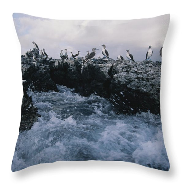 Blue-footed Boobies On A Rocky Throw Pillow by Annie Griffiths