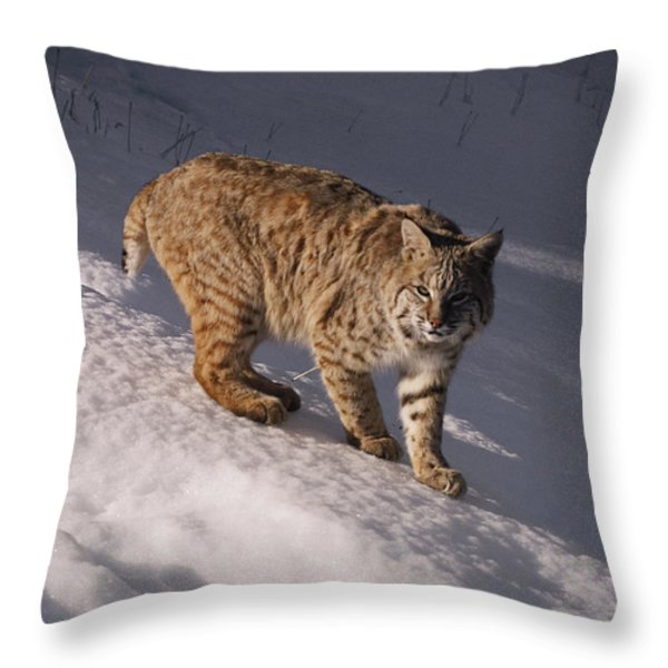 Bobcat Felis Rufus Prowls Over The Snow Throw Pillow by Dr. Maurice G. Hornocker