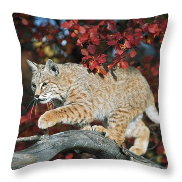 Bobcat Walks On Branch Through Hawthorn Throw Pillow by David Ponton