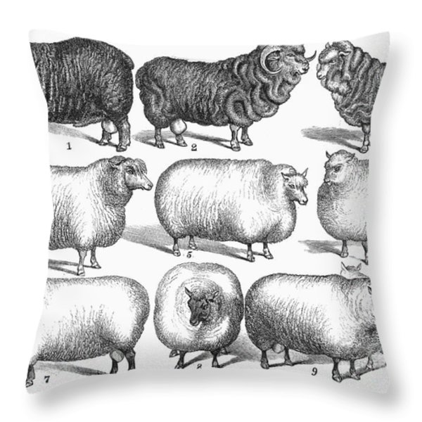 Breeds Of Sheep, 1876 Throw Pillow by Granger