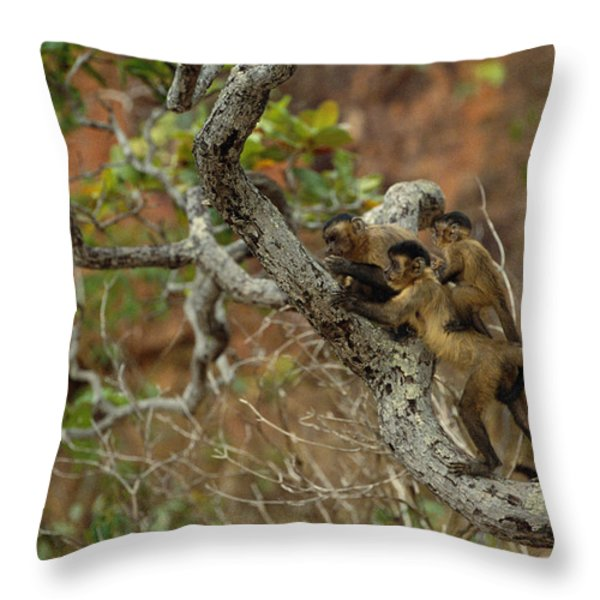 Brown Capuchin Cebus Apella Three Throw Pillow by Pete Oxford