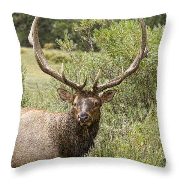 Bull Elk Eyes Throw Pillow by James BO  Insogna