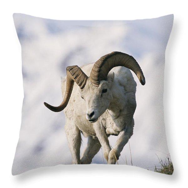 Dalls Sheep Ovis Dalli, Ram,  Denali Throw Pillow by Roy Toft