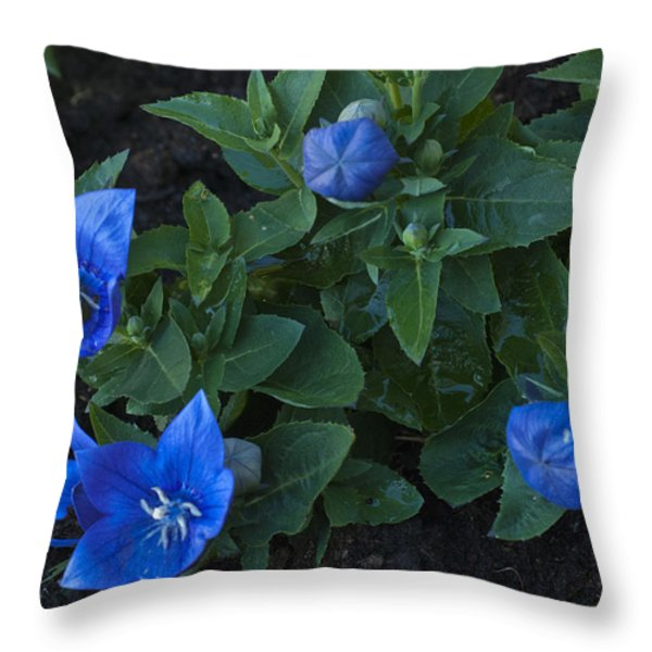 Dwarf Balloon Flower Platycodon Astra Blue 2 Throw Pillow by Steve Purnell