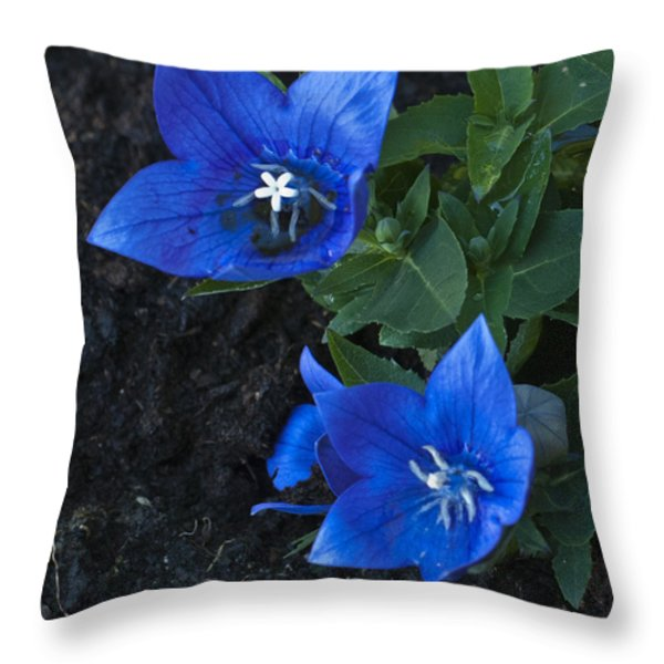 Dwarf Balloon Flower Platycodon Astra Blue  Throw Pillow by Steve Purnell