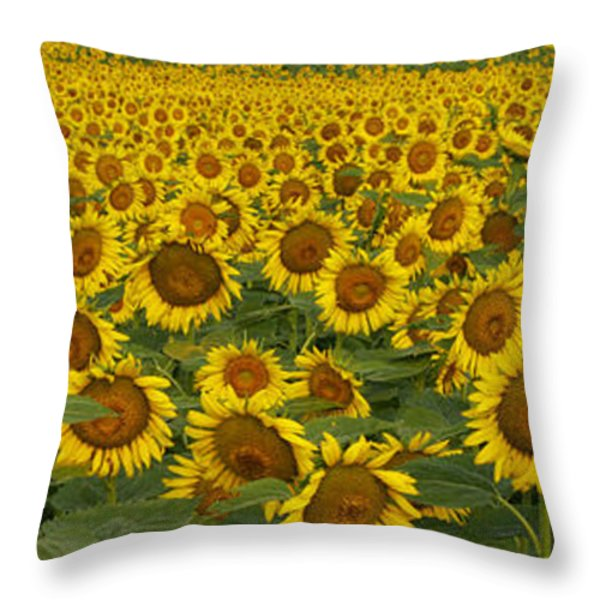 Field Of Domestic Sunflowers Throw Pillow by Kenneth M Highfill and Photo Researchers