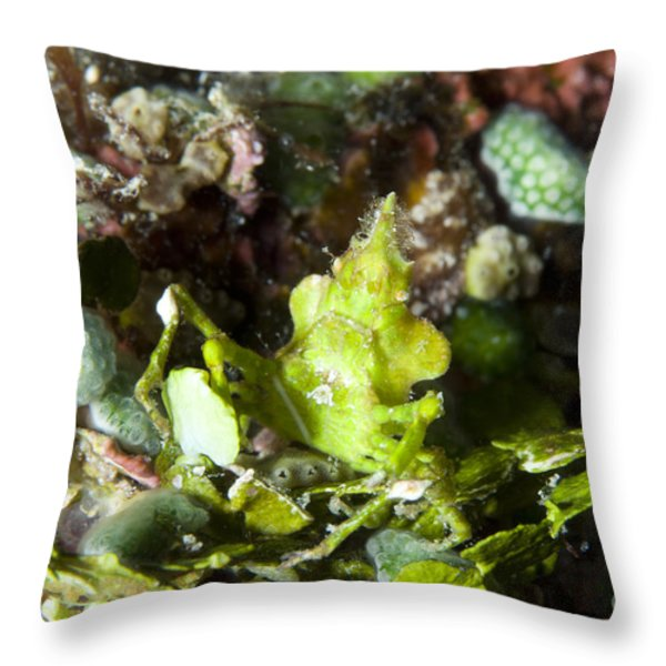 Green Arrowhead Crab, Papua New Guinea Throw Pillow by Steve Jones