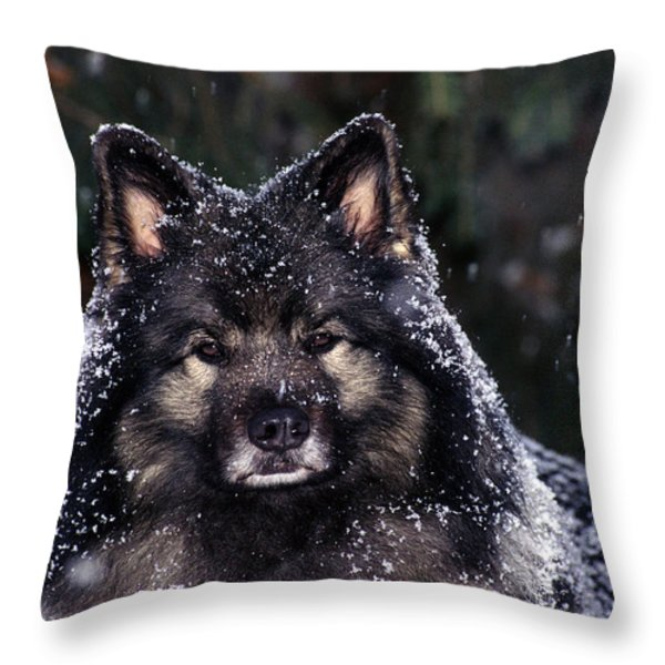 Keeshond Dog, Winnipeg, Manitoba Throw Pillow by Mike Grandmailson