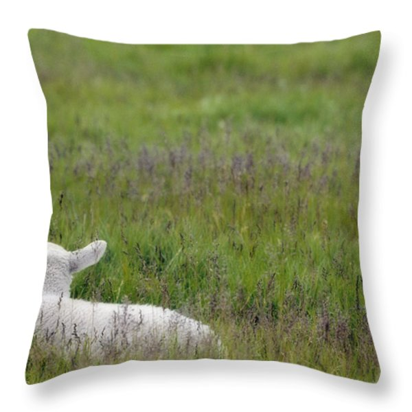 Lamb In Pasture, Alberta, Canada Throw Pillow by Darwin Wiggett