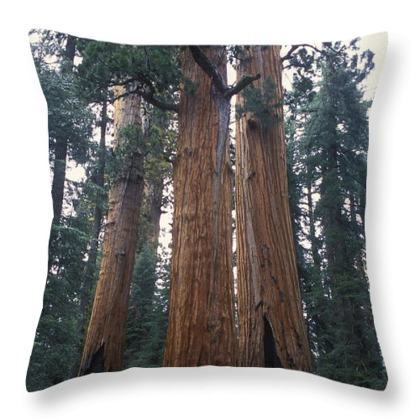 Looking Up At 3 Giant Sequoia Trees Throw Pillow by Stephen Sharnoff