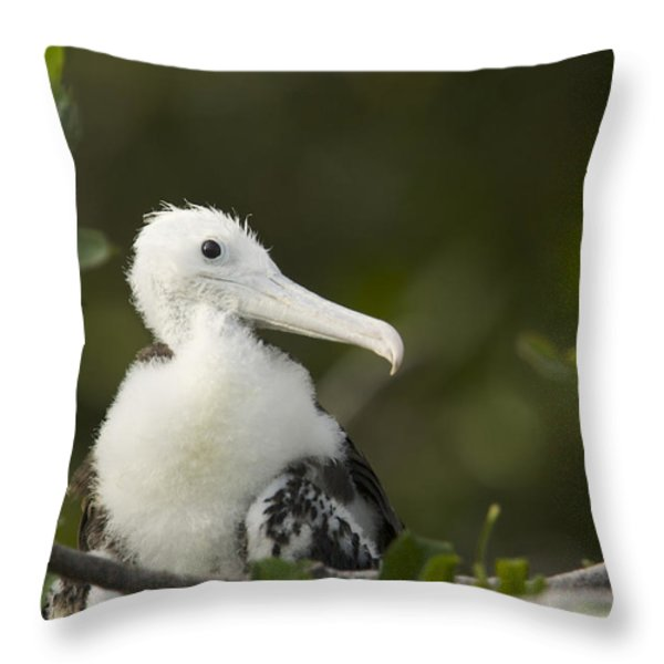 Magnificent Frigatebrid Chick Perched Throw Pillow by Tim Laman