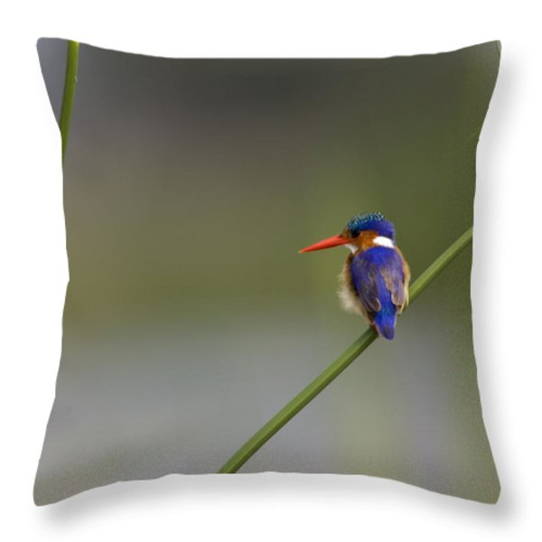 Malachite Kingfisher On A Grass Stem Throw Pillow by Roy Toft