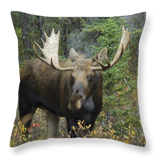 Moose Alces Alces In The Forest Alberta Throw Pillow by Philippe Widling
