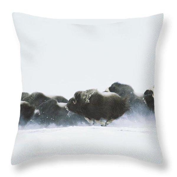 Musk-oxen, Ovibos Moschatus, Flee Throw Pillow by Norbert Rosing