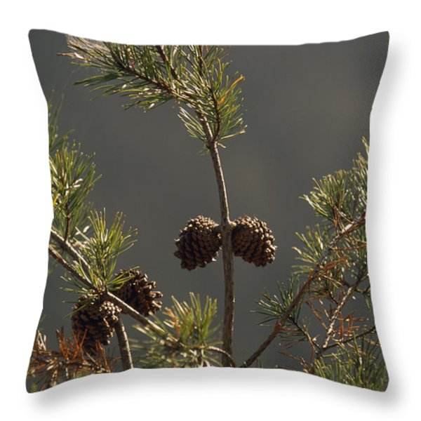 Pine Cones At The Top Of A Small Pine Throw Pillow by Raymond Gehman