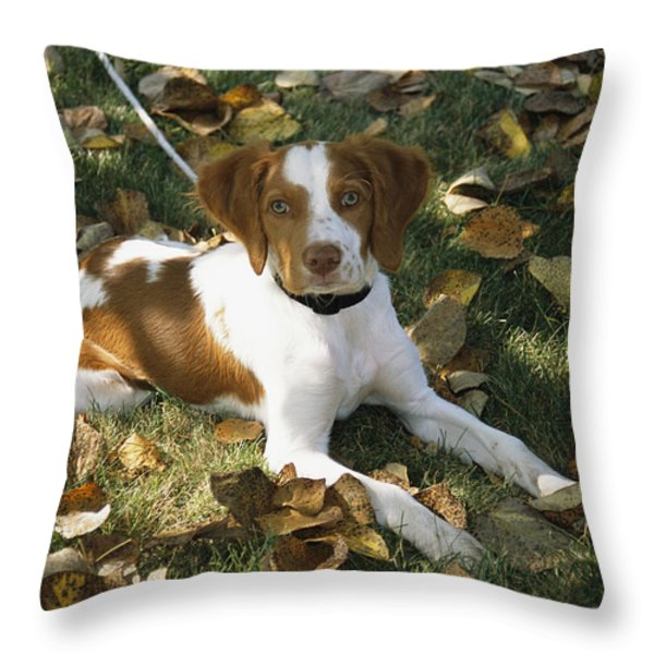 Portrait Of A Brittany Spaniel Puppy Throw Pillow by Paul Damien