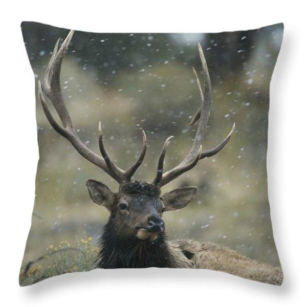 Portrait Of An Elk Or Wapiti Throw Pillow by Norbert Rosing