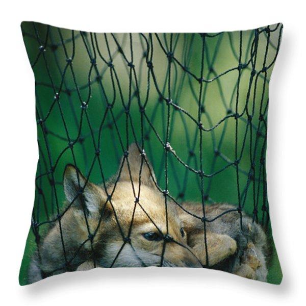 Red Fox Vulpes Vulpes In A Soft Trap Throw Pillow by Joel Sartore