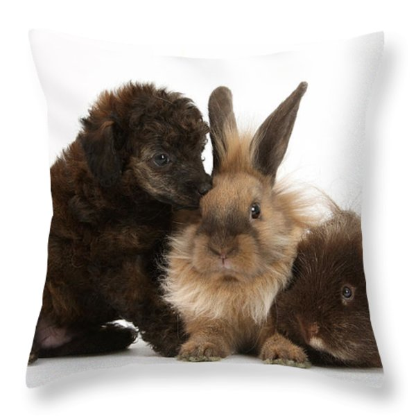 Red Merle Toy Poodle Pup, Guinea Pig Throw Pillow by Mark Taylor