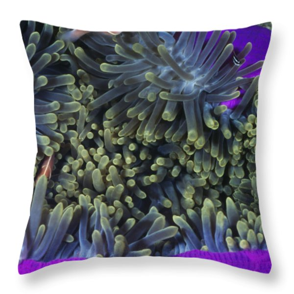 Solomon Islands Amphiprion Perideraion Throw Pillow by James Forte