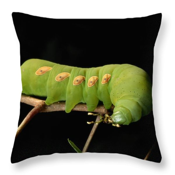 Sphinx Moth Caterpillar Manduca Sp Throw Pillow by George Grall