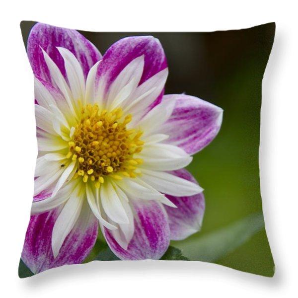 Tri-color Dwarf Dahlia Throw Pillow by Sean Griffin