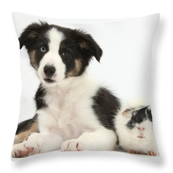 Tricolor Border Collie Pup And Guinea Throw Pillow by Mark Taylor