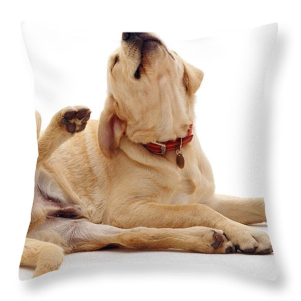 Yellow Labrador Scratching Throw Pillow by Jane Burton