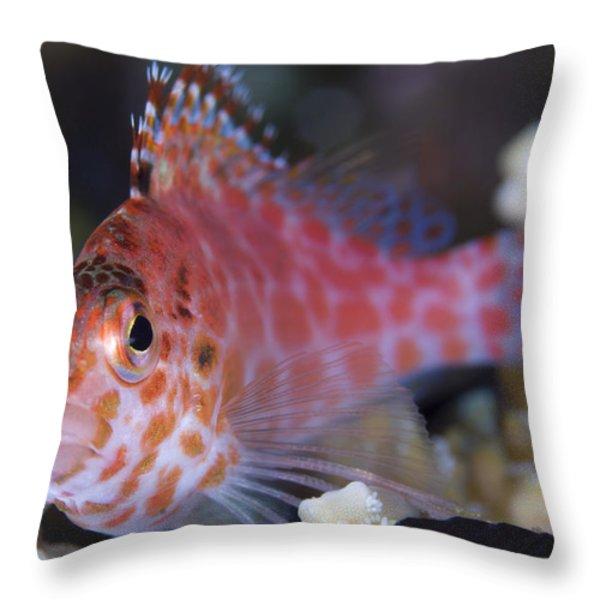 Pixy Hawkfish, Kimbe Bay, Papua New Throw Pillow by Steve Jones