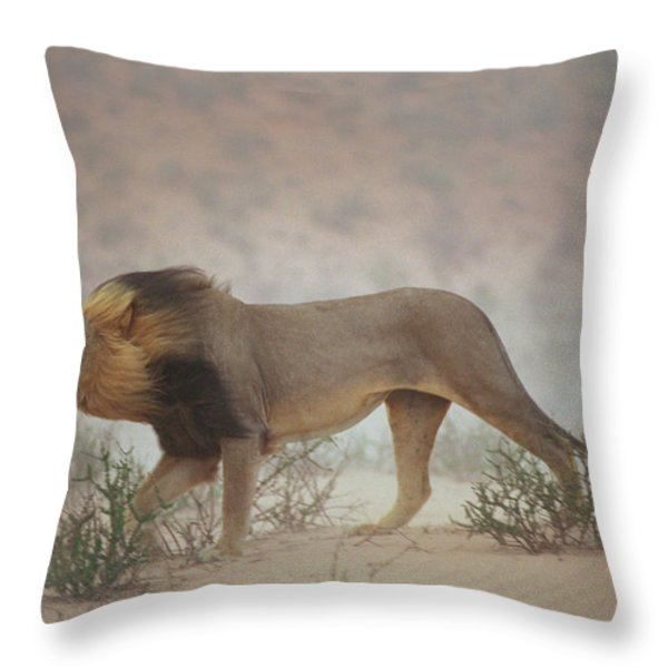A Lion Pushes On Through A Gritty Wind Throw Pillow by Chris Johns