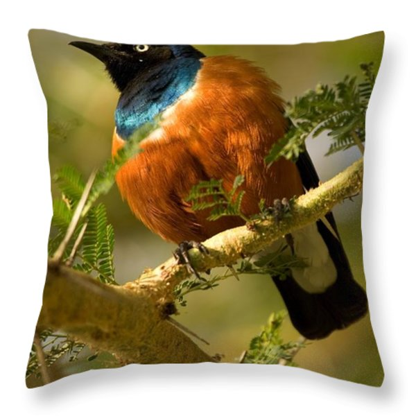 A Superb Starling Perched On An Acacia Throw Pillow by Roy Toft