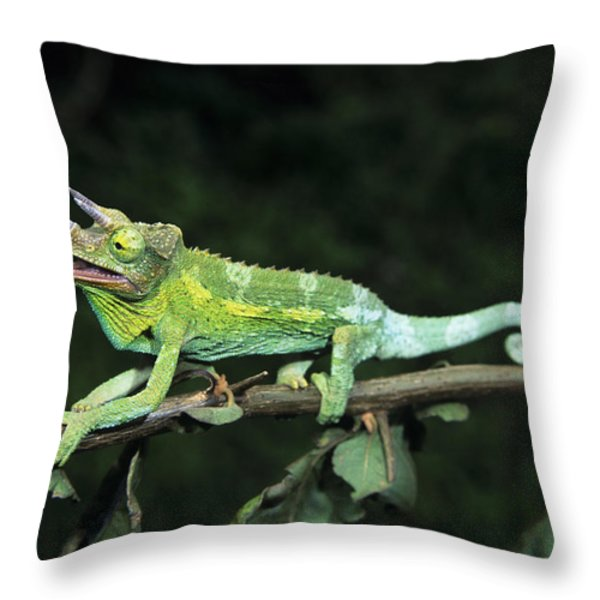 Jacksons Chameleon on Branch Throw Pillow by Dave Fleetham - Printscapes