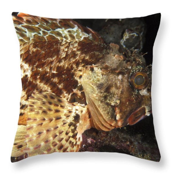 Red Rock Cod Fish. Scorpaena Papillosa Throw Pillow by James Forte