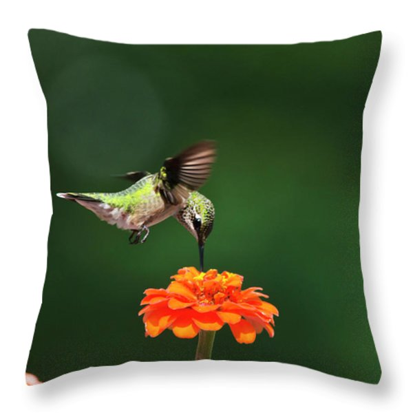 Ruby-Throated Hummingbird Feeding On Orange Zinnia Flower Throw Pillow by Christina Rollo