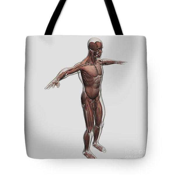 Anatomy Of Male Muscular System, Side Tote Bag by Stocktrek Images