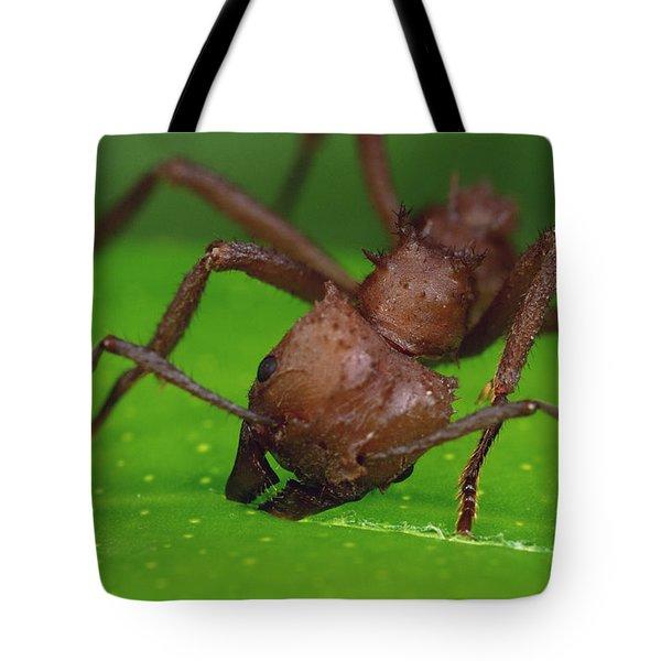Leafcutter Ant Cutting Papaya Leaf Tote Bag by Mark Moffett