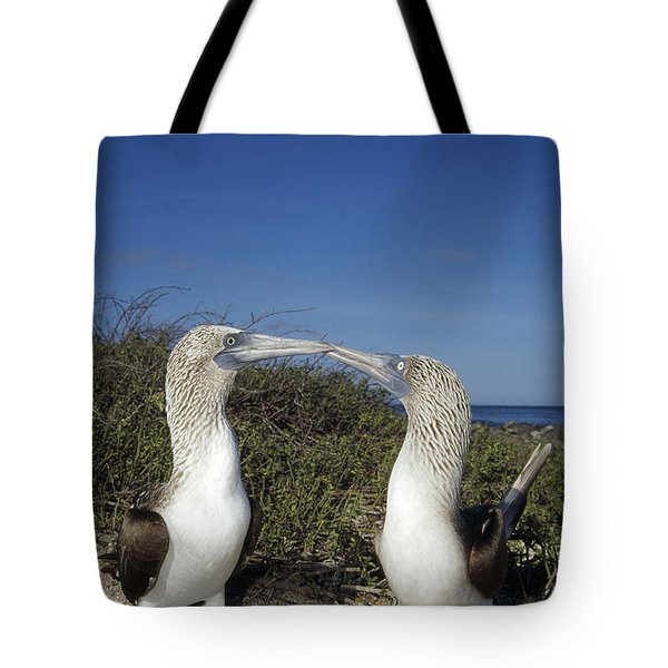 Blue-footed Boobies Courting Galapagos Tote Bag by Tui De Roy