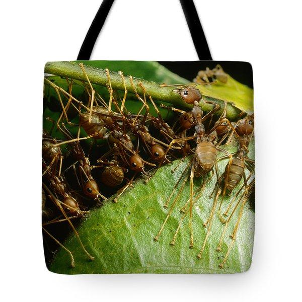 Weaver Ant Group Binding Leaves Tote Bag by Mark Moffett