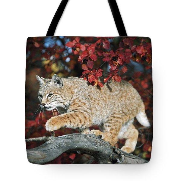 Bobcat Walks On Branch Through Hawthorn Tote Bag by David Ponton