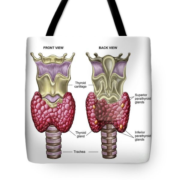 Anatomy Of Thyroid Gland With Larynx & Tote Bag by Stocktrek Images