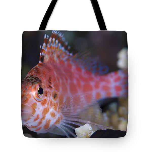 Pixy Hawkfish, Kimbe Bay, Papua New Tote Bag by Steve Jones