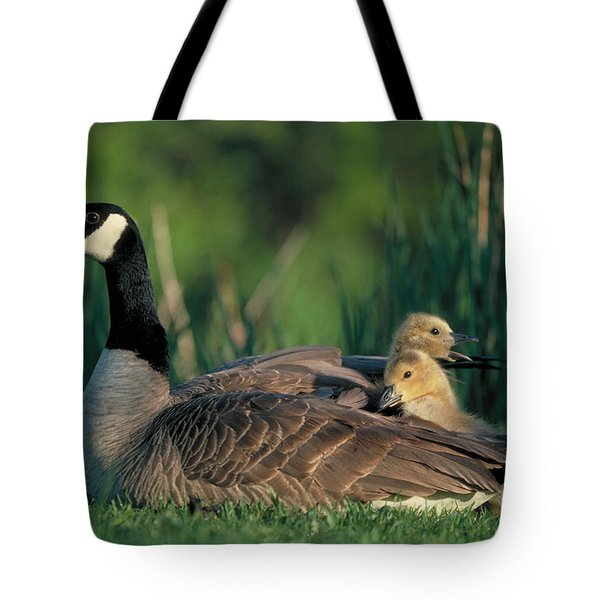 Canada Goose with goslings Tote Bag by Alan and Sandy Carey and Photo Researchers