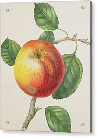 An Apple Acrylic Print by Elizabeth Jane Hill