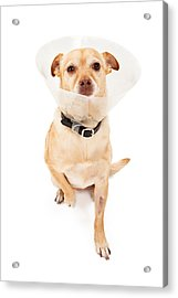 Chihuahua Mix Dog With Cone  Acrylic Print by Susan  Schmitz