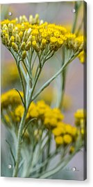 Curry Plant Aroma Acrylic Print by Julie Palencia